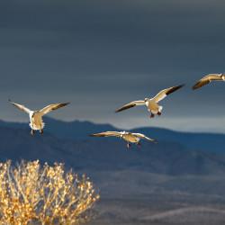 349 Snowgeese landing