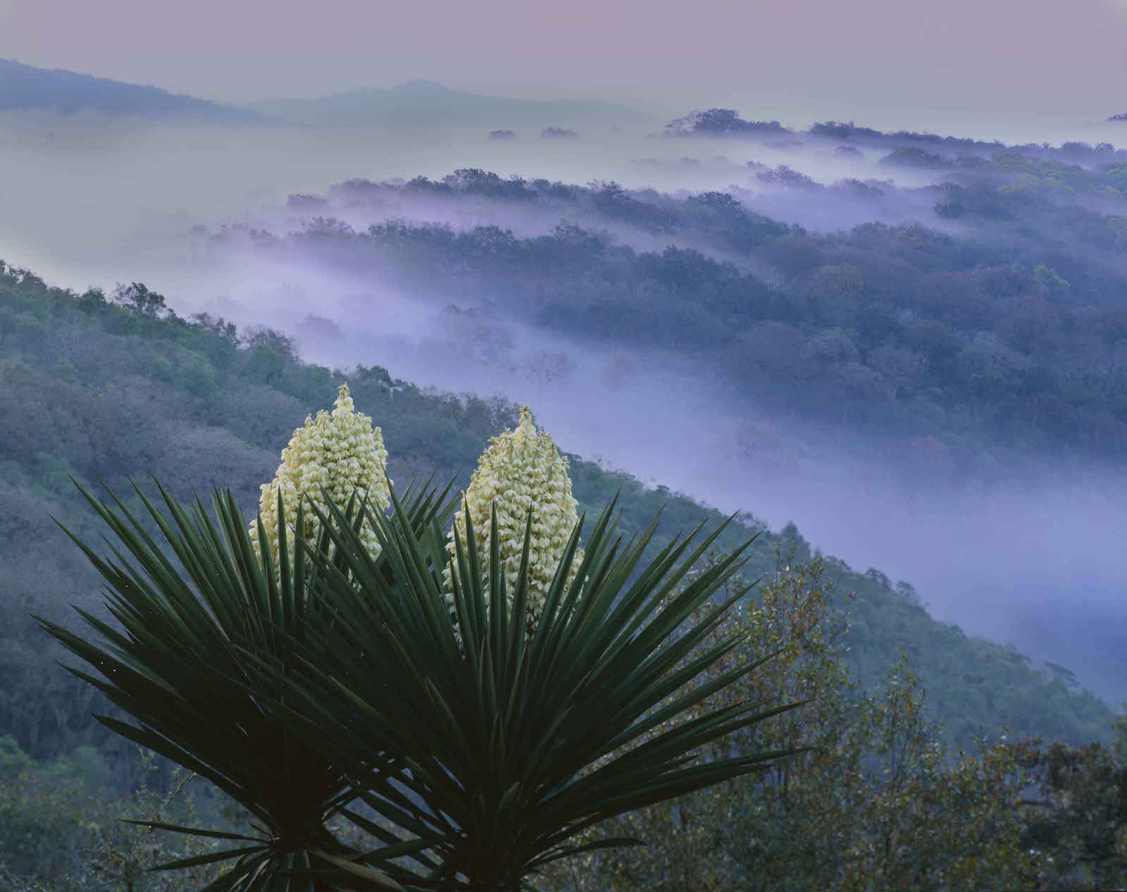 021001-0101-00   IN           Tamaulipas, Sierra Tamaulipas, Mexico / Flowering Yucca, Yucca carnerosana, as fog pours through the thick forested mountain ridges at dawn. 204H3                                                                                                                4x5   H            Orig