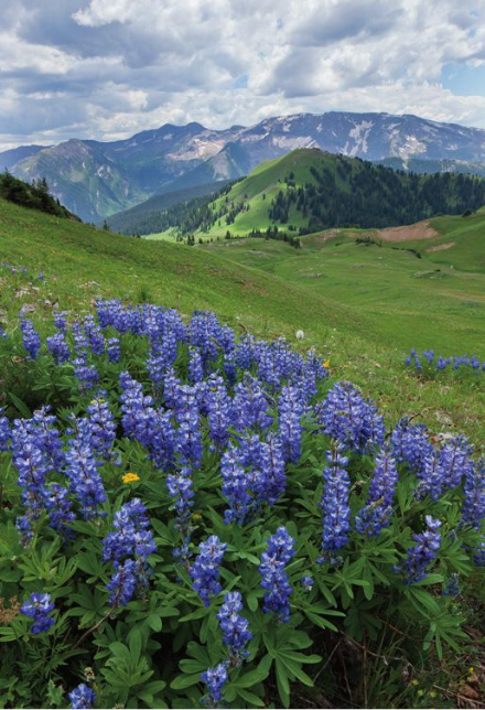 Lupines in Silver Creek Basin and Treasure and Treasury Mountains, Maroon Bells-Snowmass Wilderness, Colorado
