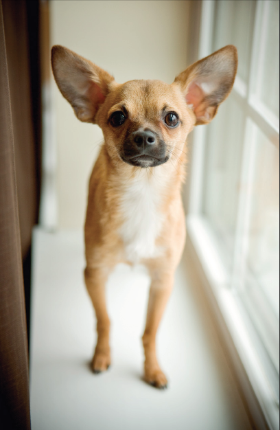 Phillip the Chihuahua has ears that always stand up so I'll need to look at his eyes and other body language cues to get major information about how he is responding to the situation.